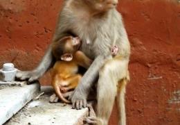 monos-sagrados-en-india