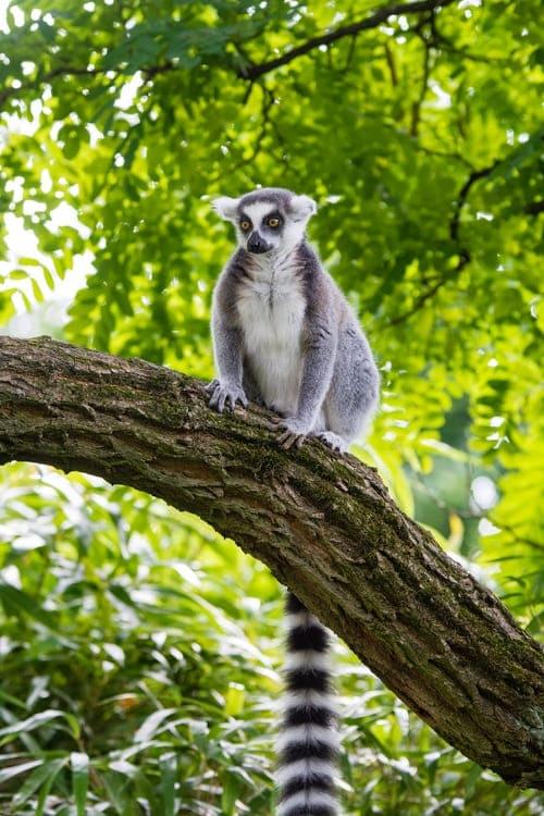 lemur-de-cola-anillada