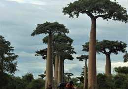 Tuk-Tuk-en-la-avenida-de-los-Baobabs