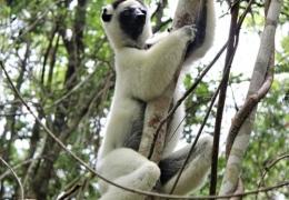 lemur-blanco