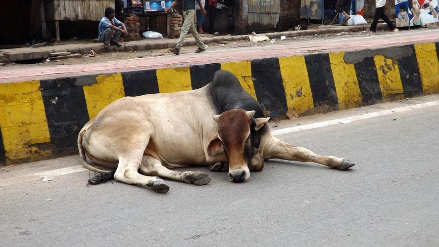 Vaca sagrada. Curiosidades sobre India